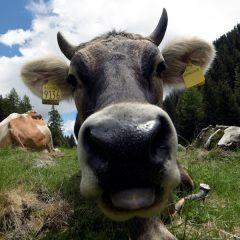 Il latte nella malga del Trentino