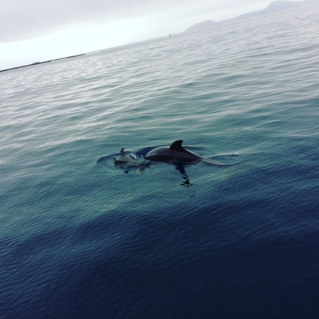 Delfini in Golfo Aranci