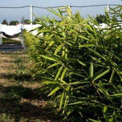 Il bambù, pianta ecosostenibile
