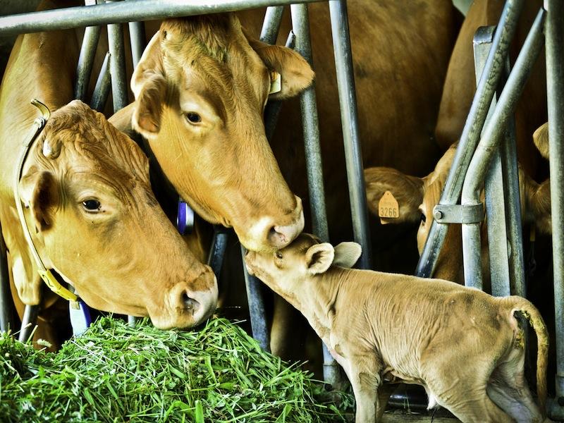 I sapori delle vacche rosse