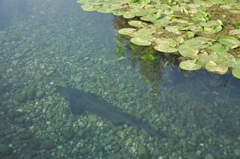 Caviale Calvisius, lusso eco friendly